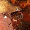 A white-eyed moray eel captures a crab at Phi Phi