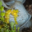 A profile of a juvenile thorny seahorse from Alor, Eastern Indonesia