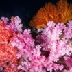 Red and purple dendronepthya corals at Hin Daeng, Thailand