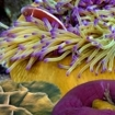 An anemonefish hides among the tentacles of its anemone home