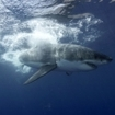 A great white shark at Guadalupe Island