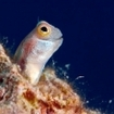 Eyestriped blenny, Daedalus Reef, Egypt