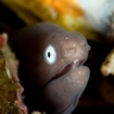 A whiteeyed moray eel at Racha Yai