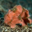 An orange warty frogfish, near Manado, Indonesia