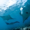 Manta rays approach a cleaning station