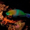 A parrotfish in Egpt's southern Red Sea.