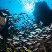 The healthy marine life of Cocos Island