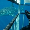 Great white shark cage diving at Guadalupe Island with the Islander