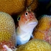 A blenny hides in the porites coral at Thaa Atoll