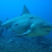 Diving with sharks in Fiji: Kinky, the Zambezi shark, Shark Reef, Pacific Harbour