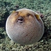 A pufferfish shows why it is named such