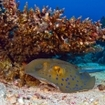 A bluespotted stingray hides under a coral