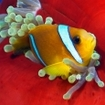 A Red Sea anemonefish, Egypt