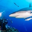 Reef sharks are not shy at Holmes Reef, Australia
