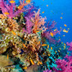 Colourful soft coral at Gorgonian Forest
