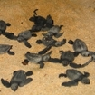 Hatchlings at Sangalaki, Indonesia