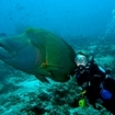 Diving with Napoleon wrasse in North Male