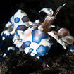 A harlequin shrimp, Andaman Sea