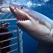 Cage diving liveaboard trips in South Australia
