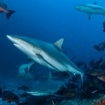 Grey reef sharks, Bligh Water
