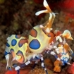 A harlequin shrimp at Richelieu Rock