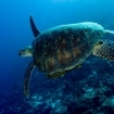 Green turtle (Chelonia mydas) with a yellow remora swimming over a reef
