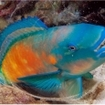 A parrotfish inside its sleeping cocoon, Phi Phi Islands