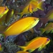 Golden Anthias at Lhaviyani Atoll, Maldives