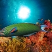 A wrasse swims along a coral reef