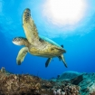 A turtle in the Pacific Ocean