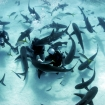Typical scene from a Caribbean reef shark feed