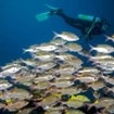 Diving with snappers in the Surin Islands