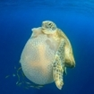A baby turtle hitches a ride from a jellyfish at Koh Chi