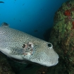Pufferfish can be seen throughout the Pacific