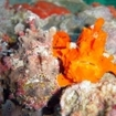 Camouflaged frogfish at Richelieu Rock