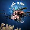 A lionfish at Australia's Ribbon Reefs