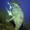 A dugong in the Red Sea of Egypt