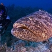 Queens Gardens are home to big goliath groupers