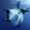 This diver shows how large Pacific mantas can be