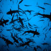 Dive at Cocos Island with hundreds of whitetip reef sharks