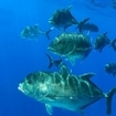 Giant trevally off Hawaii, USA