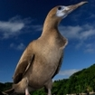 A booby at Cocos Island, Costa Rica