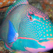 A beautiful parrotfish - Taveuni Island, Fiji