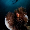 Anemonefish and diver