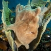 A giant frogfish lies in wait to ambush, Ambon