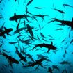 School of juveniile whitetip reef sharks - Cocos Island, Costa Rica