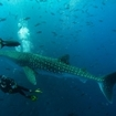 Divers with a whale shark in the Sea of Cortez