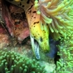 A fimbriated moray eel at home in the reef