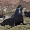 Pinnipeds in the Galapagos Islands