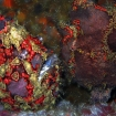 twin frogfish in Cebu